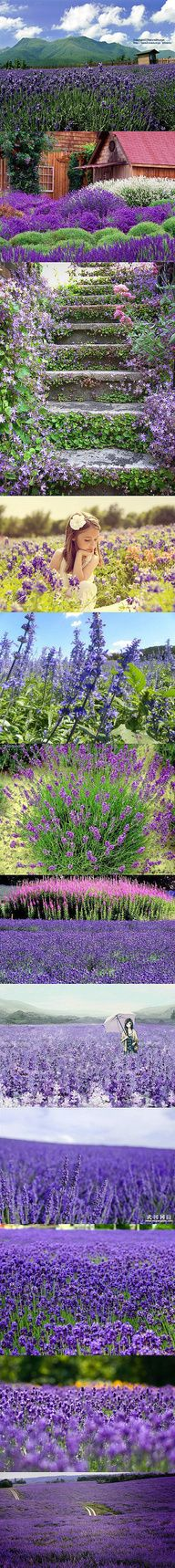 Our Season is over and now cut back in hopes of a November re-bloom ~ Lavender