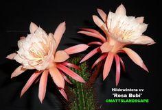 Hildewintera hybrid 'Rosa Bubi'