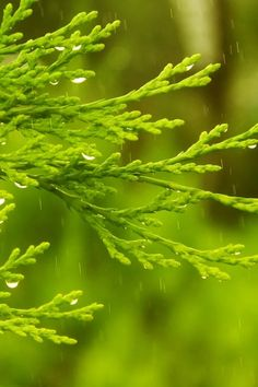 Cypress in the rain  #iPhone #4s #Wallpaper