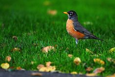 Normal sight to see in Mississippi in early spring. I love the large flocks of robins as they migrate north.  American Robin