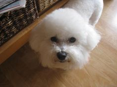 Gigi after grooming. Animals Of The World, Animals And Pets, Cute Animals, Cute Puppies, Cute Dogs, Dogs And Puppies, Beautiful Beautiful, Animals Beautiful, Bichons