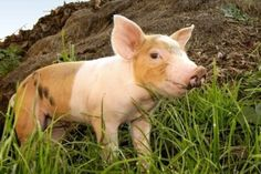 Pigs Are Smart, Emotional, Complex http://www.worldanimal.foundation/advocate/pigs-are-smart-emotional-complex