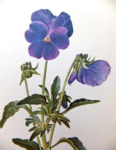 Viola, Horned Pansy, Violet Family. Vintage Flower Picture. Botanical Print. Blue flowers. Purple Flowers. Home Decor, Paper Goods, Supplies on Etsy, £4.00
