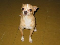 Cute Chiwawa Dog