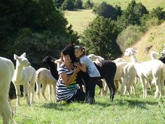 Walk amongst the young female alpacas, Geisha has come up for a cuddle.