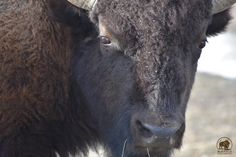 Please call! Tell them to stop the slaughter!     Please continue to make these calls! Be relentless and don't accept their excuses.    Phone calls are the most effective because they cannot be ignored.      Yellowstone Superintendent Dan Wenk, #307-344-2002  Montana Governor Steve Bullock #406-444-3111  Here are some important points to consider - No agency's hands are tied!