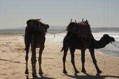 Weite, Wind und Meer beim Wandern an der Atlantikküste Camel, Animals, Mountain Range, Morocco, Hiking, Culture, Animales, Animaux, Camels