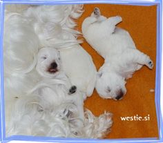 WEST IN SHOW ~ Westies | West Highland White Terriers – WEST IN SHOW Kennel, Slovenia, Europe