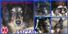 Dachshund dog for Adoption in Sebec, ME. ADN-448274 on PuppyFinder.com Gender: Male. Age: Senior