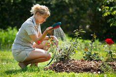 Как сажать розы осенью: секреты успешного цветения