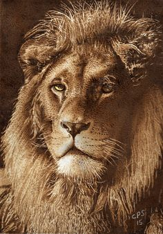 Lion 1 Pyrography on Paper. Clive Smith.