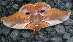 24 Beautiful Endangedred Luna Moth