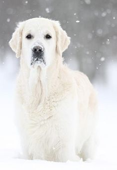 Pale Gold-Lab Standing in the Falling Snow.