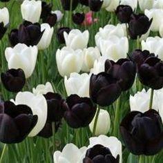 Black & White Mix - Single Late Tulip Flower Bulbs