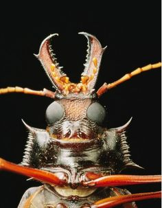 """The long-horned beetle has a face only a coleopterist could love. But the coolest thing about this South American beetle isn't its horny face. Its body is strikingly beautiful, looking more like a remarkable piece of tribal art or wood carving than a living thing. Unfortunately the long-horned beetle may well be more threatened than threatening: It's deemed """"vulnerable"""" by the IUCN."""