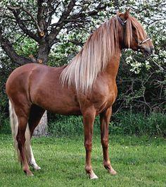 Peruvian Paso stallion, CM Laberinto. Sexy mane.