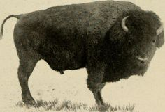 "Image from page 87 of ""American big game in its haunts; the book of the Boone and Crockett club"" (1904)"