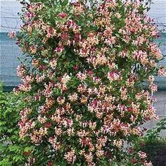 Fragrant Cloud Honeysuckle Vine | Gardening | Pinterest ...