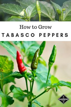 Gardening Indoor Learn how to grow your own Tabasco peppers. If you live in a cool climate, they grow well indoors in container gardens. Container Gardening, Gardening Tips, High Calorie Diet, Chilli Plant, Tabasco Pepper, Growing Peppers, Coconut Oil Weight Loss, Eating For Weightloss, Pepper Plants