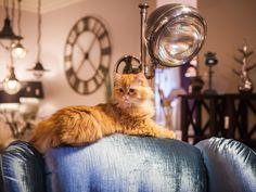 INNE MEBLE -- meble, kanapy tapicerowane, dekoracje, oświetlenie, lampy Fox, Cats, Animals, Animais, Gatos, Animales, Kitty Cats, Animaux, Cat Breeds
