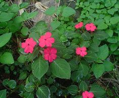 Pictue of Impatiens walleriana, the Busy Lizzie Shade Tolerant Plants, Partial Shade Plants, Perennials, Beautiful Flowers, Business, Garden, Woodland, Colour, Color