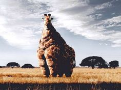 The destruction or alteration of the giraffe makes the animal look absurd. The notion of fiding an overweight giraffe. Social issue of weight. Funny Animal Jokes, Cute Funny Animals, Animal Memes, Funny Cute, Hilarious, Funny Ads, Animal Humor, Giraffe Pictures, Funny Animal Pictures