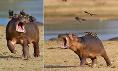 birds on hippo  Embedded image permalink