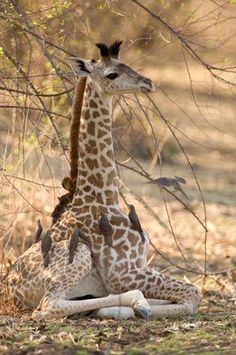 It's a spa day for this newborn giraffe in Zambia, getting skin conditioning from oxpecker birds. Photo by Frans Lanting #giraffes