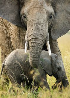"mokacahuete-animaux: "" Protective Mother Taken whilst on Safari from Mara Sarova Lodge in the Masai Mara. Vida Animal, Mundo Animal, African Elephant, African Animals, Beautiful Creatures, Animals Beautiful, Beautiful Babies, Kenya, Elephas Maximus"
