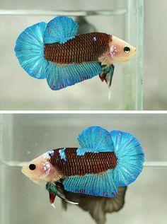 سمكة رائعة