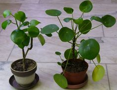 Kuvassa vasemmanpuoleinen kasvi (valko-ruskea ruukku) on kilpimuori Peperomia arifolia ja oikeanpuoleinen kasvi (ruskea muoviruukku) on kilpipiilea Pilea peperomioides