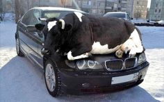 jokers have posted a photo of a COW asleep on a car bonnet in a winter warning to motorists to check their cars for animals attracted to warm car engines. Bobbies working for the Tandridge Safer Neighbourhood Team - part of Surrey Police - posted the image on its Facebook account on Tuesday (Nov 24). Accompanying the image, an officer wrote: 'Remember as days get colder animals are attracted to the warmth of cars so check wheel arches or other hiding places.' Locals inundated the police…