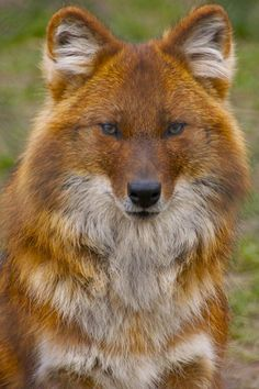 Dhole,Asiatic wild dog... Looks a little like a fox, just beautiful...