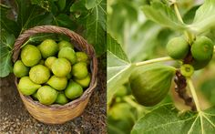 My freshly picked Ottata figs! http://www.underthealmondtree.com/2013/08/30/gorgonzola-filled-figs/