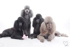 Standard Poodles!  <3
