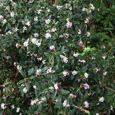 The 12 Most Strongly ScentedShrubs -Daphne × transatlantica 'Blafra' (Eternal Fragrance)