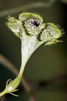 Ceropegia sandersonii | Flickr - Photo Sharing!