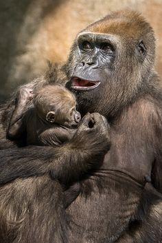 Monkey - Singing a Gorilla Lullaby Primates, Gorillas In The Mist, Baby Gorillas, Mother And Baby Animals, Cute Baby Animals, Wild Animals, Beautiful Creatures, Animals Beautiful, Regard Animal