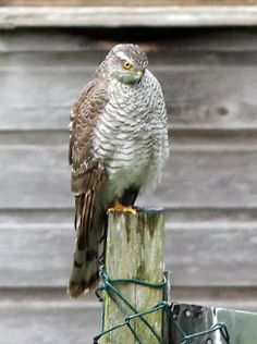 Fence Post and a Hawk