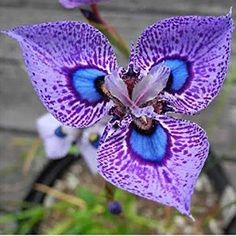 Phalaenopsis Orchid Flower Seeds Bonsai Ornamental Home Potted Plant Seed for sale online Strange Flowers, Unusual Flowers, Unusual Plants, Rare Flowers, Exotic Plants, Amazing Flowers, Purple Flowers, Beautiful Flowers, Orchid Flowers