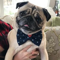 """Visit our web site for more details on """"pugs"""". It is an outstanding location to find out more. Black Pug Puppies, Dogs And Puppies, Doggies, Cute Pugs, Funny Pugs, Animals And Pets, Cute Animals, Pug Mops, Pug Pictures"""