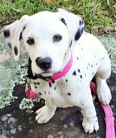 Cute as a spotted pup Cute Dogs And Puppies, I Love Dogs, Pet Dogs, Doggies, Animals And Pets, Baby Animals, Cute Animals, Beautiful Dogs, Animals Beautiful