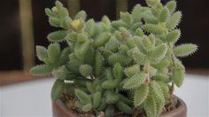"Delosperma+echinatum+""Pickle+Plant"""