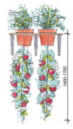 """Stellen Sie Ihren Garten auf den Kopf: mit der Selbstbauidee """"Upside Down Tomate"""". Oben Kräuter Ihrer Wahl, unten Tomaten – so werden die Tomatenpflanzen nicht nur besonders groß, sie nehmen dazu auch den Geschmack der ausgewählten Kräuter an. Seien Sie kreativ, genießen Sie die neuen Aroma-Perspektiven und lassen Sie sich die """"Früchte"""" Ihrer kreativen Gartenideen…"""
