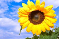 Bright Sunflower by Elena Riim.  Bright Sunflower on blue sky background.