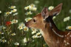 Does Society Garlic Keep Deer Away From Plants?
