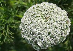 Conhecem uma flor chamada Chuva de Prata também chamada de gipsofila, mosquitinho é uma flor super miudinha, mas que tem ganhado cada vez mais espaço, pelo seu preço, mas pelo resultado que faz nos arranjos. O post anterior que fiz sobre a gipsofila teve tanta procura que resolvi fazer uma segunda p