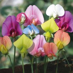 Sweet Pea (Lathyrus odoratus) via www.thompson-morgan.com