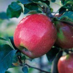 Northern Spy Apple Tree | #starkbros Zone Range: 4-8; Needs Pollinator; Ripens: October; Years to Bear: 2-5
