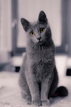 russian blues-- sweetest kitties.